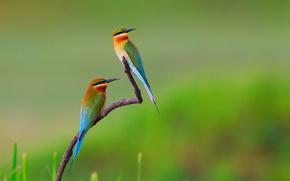 Картинка птицы, ветка, щурка золотистая, пчелоедки
