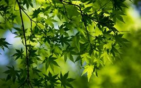 Картинка макро, зеленый, листва, ветка, весна, клён
