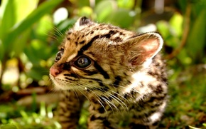 Обои фокус, котенок, гепард, крупный план