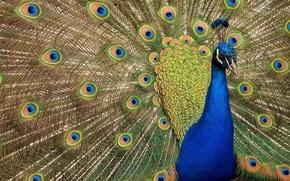 Картинка птица, перья, веер, павлин