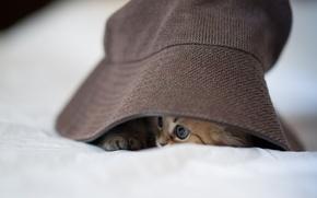 Обои шляпа, кошка, Ben Torode, спряталась, Daisy, панама, котенок