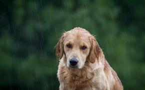 Картинка взгляд, друг, дождь, собака