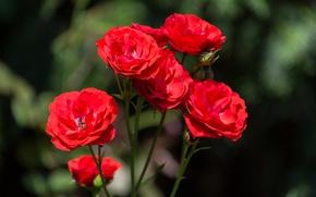 Картинка Боке, Bokeh, Red rose, Красные розы