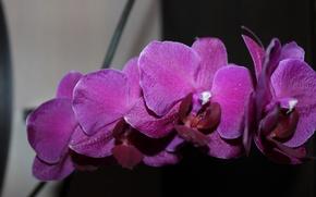 Картинка орхидея, красивые цветы, ветка орхидеи
