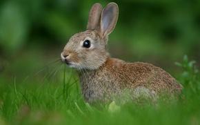 Картинка зелень, трава, заяц, Кролик, размытость
