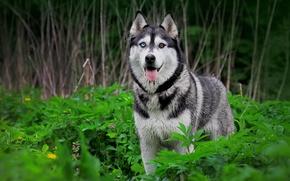Картинка природа, собака, хаск