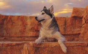 Картинка портрет, собака, хаски