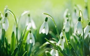 Картинка цветы, природа, весна, подснежники