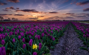 Картинка закат, цветы, тюльпаны