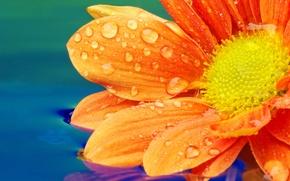 Обои цветок, вода, капельки