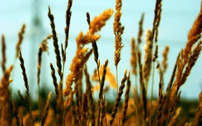 Обои зерна, колос, поле