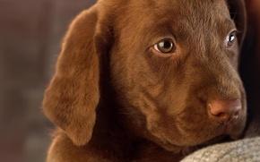 Картинка собака, щенок, лабрадор, шоколадный