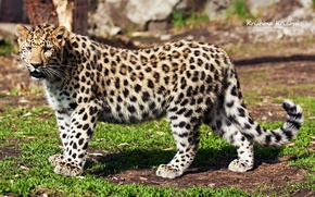 Картинка взгляд, хищник, леопард, профиль, дальневосточный