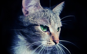 Обои глаза, морда, макро, Кошка, шерсть, уши