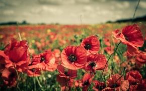 Картинка поле, цветы, маки, красные, много