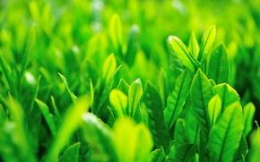 Картинка зелень, трава, листья, солнце, макро, зеленый, фон, green, widescreen, обои, wallpaper, grass, листочки, широкоформатные, листики, …