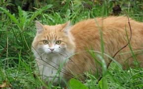 Картинка кошка, трава, рыжий