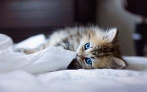 Обои кошка, порода Священная Бирма, постель, Кот, cat, котенок, порода, Saint Birman, синеглазая, blue eyes