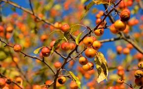 Картинка небо, листья, макро, ветки, яблоки