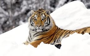 Картинка кошка, тигр, хищник