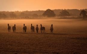 Картинка поле, туман, кони