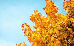 Картинка осень, небо, листья, макро, деревья, фон, дерево, обои, голубое, размытие, желтые, wallpaper, листочки, sky, широкоформатные, …