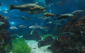 Картинка вода, водоросли, камни, аквариум, рыба