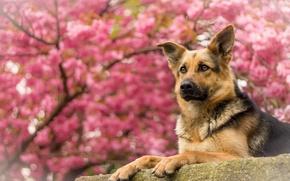 Картинка портрет, собака, овчарка, Немецкая овчарка