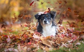 Картинка осень, взгляд, листья, собака, Австралийская овчарка, Аусси
