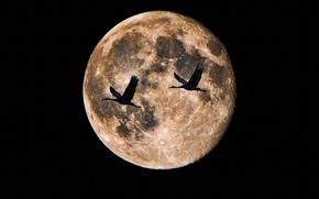 Картинка птицы, ночь, луна