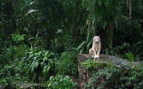 Обои белый тигр, зоопарк, сингапур