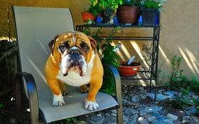 Картинка взгляд, друг, животное, собака, английский бульдог, сидит на стуле