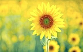 Обои желтый, зеленый, подсолнух, солненый