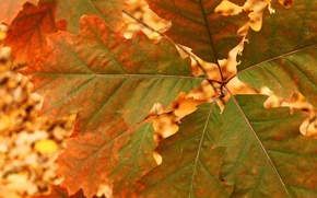 Картинка осень, лист, дуб