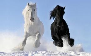 Картинка белый, снег, кони, лошади, бег, галоп, вороной, © Виктория Макарова