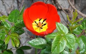 Картинка цветок, листья, красный, цвет, тюльпан, весна, чаша, лепестки, тычинки
