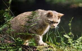 Обои хищник, дикая кошка, охотник, крадётся