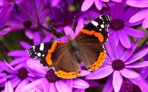 Обои цветы, бабочка, лепестки, крылья, мотылек