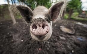 Картинка макро, фон, свинья
