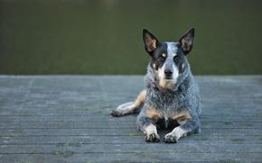 Картинка взгляд, собака, australian cattle dog