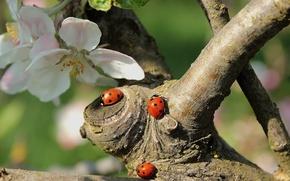 Картинка насекомые, ветки, природа, дерево, весна, жуки, яблоня, цветение, цветки, божьи коровки