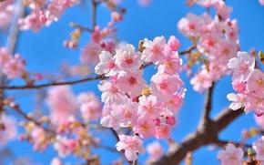 Картинка цветы, природа, красота, весна, сакура