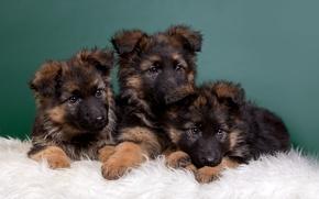 Картинка щенки, малыши, трио, овчарки