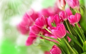 Картинка цветы, розовый, букет, тюльпаны