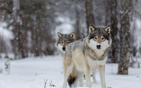 Картинка глаза, снег, деревья, волки, trees, eyes, боке, bokeh, wolves, snowing