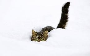 Обои кот, прячется, снег, зима