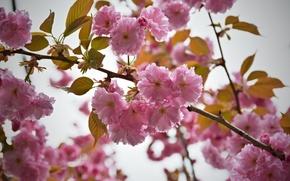 Картинка Цветы, розовые, цветение, pink, flowers, flowering