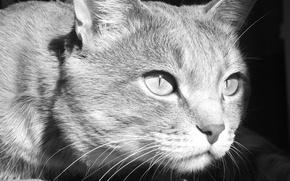 Картинка животные, глаза, кот, усы, черно-белые