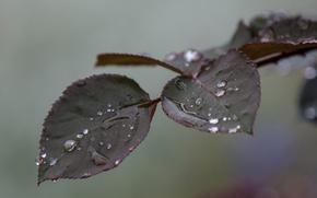 Картинка листья, вода, капли, макро, ветка