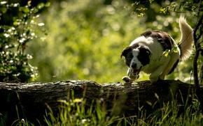 Картинка собака, бревно, Бордер-колли